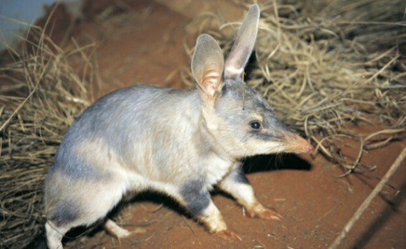 Bilby, the Numbat and bridled nail-tail Wallaby to return to NSW National Parks