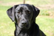 Do you know the top ten dog breeds in NSW